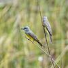 Tropische koningstiran; Tyrannus melancholicus; Tropical kingbird; Tyran mélancolique; Trauertyrann