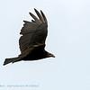 Roodkopgier; Cathartes aura; Turkey vulture; Urubu à tête rouge; Truthahngeier