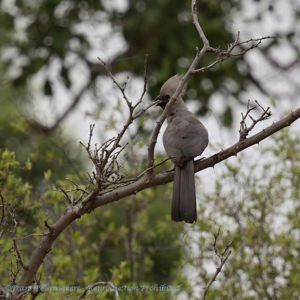 Botswana; Okavango; Grey goawaybird; Grey lourie; Kwêvoël; Grauer Lärmvogel; Touraco concolore; Vale toerako