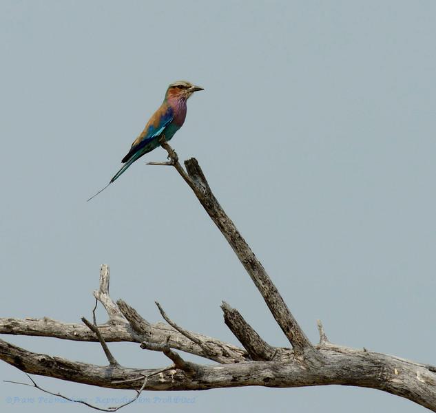Botswana; Okavango; Lilacbreasted roller; Coracias caudatus; Gewone troupant; Rollier à longs brins; Gabelracke; Grünscheitelracke; Gabelschwanzracke; Vorkstaartscharrelaar