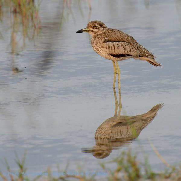 Botswana; Okavango; Water thickknee; Water dikkop; Burhinus vermiculatus; Œdicnème vermiculé; Watergriel