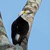 Witte specht; Melanerpes candidus; White woodpecker; Pic dominicain; Weißspecht