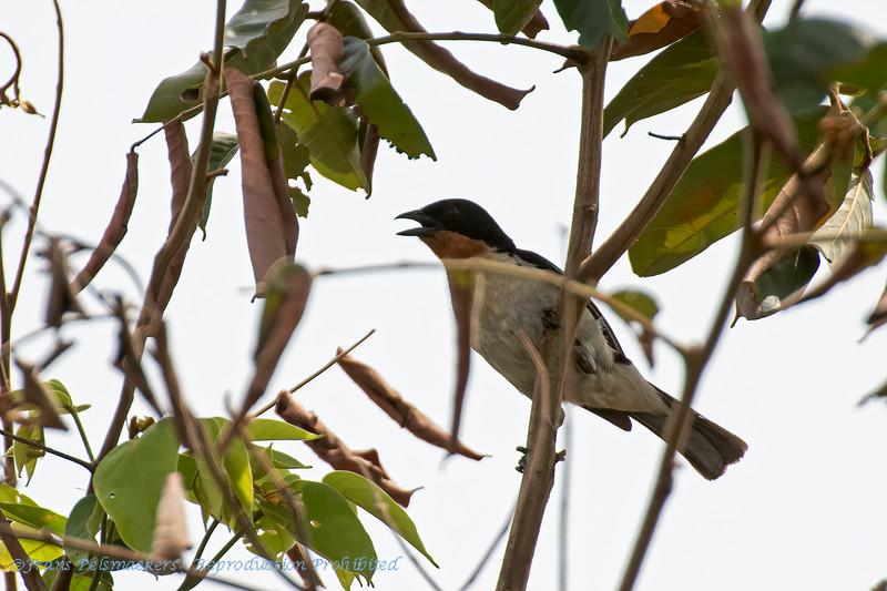 Witstuittangare; Cypsnagra hirundinacea; Whiterumped tanager; Tangara hirundinacé