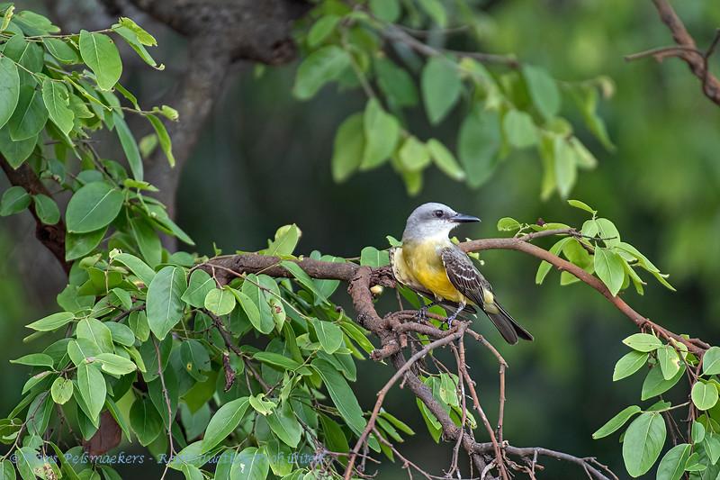 Witkeelkoningstiran; Tyrannus albogularis; Whitethroated kingbird; Tyran à gorge blanche