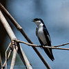 Witbuikzwaluw; Tachycineta albiventer; Whitewinged swallow; Hirondelle à ailes blanches