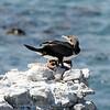 SouthAfrica; Whitebreasted cormorant; Phalacrocorax lucidus; Witborskormorant; Weißbrustkormoran; Cormoran à poitrine blanche; Witborstaalscholver