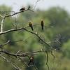 Zambië; Whitefronted beeeater; Merops bullockoides; Rooikeelbyvreter; Guêpier à front blanc; Witkapbijeneter; Zambia