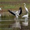 Kaalkopooievaar; 2019; Mycteria americana; Wood stork; Tantale d'Amérique; Waldstorch
