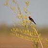 Geelsnavelkardinaal; Paroaria capitata; Yellowbilled cardinal; Paroare à bec jaune