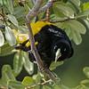 Geelstuitbuidelspreeuw; Cacicus cela; Yellowrumped cacique; Cassique culjaune; Gelbbürzelkassike