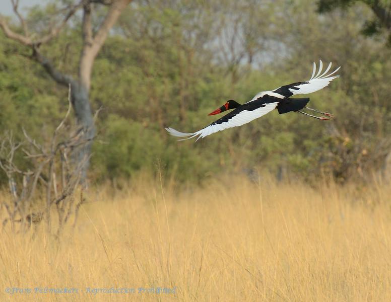 Botswana; Okavango; Zadelbekooievaar; Ephippiorhynchus senegalensis; Saalbekooievaar; Saddlebilled stork; Sattelstorch; Jabiru d'Afrique