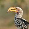 Botswana; Okavango; Southern yellowbilled hornbil; Tockus leucomelas; Geelbekneushoringvoël; Calao leucomèle; Südlicher Gelbschnabeltoko; Zuidelijke geelsnaveltok