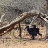 Zambië; Southern ground hornbill; Bucorvus leadbeateri; Bromvoël; Bucorve du Sud; Zuidelijke hoornraaf; Südlicher Hornrabe; Zambia
