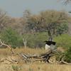 Botswana; Okavango; Southern ground hornbill; Bucorvus leadbeateri; Bromvoël; Bucorve du Sud; Zuidelijke hoornraaf; Südlicher Hornrabe