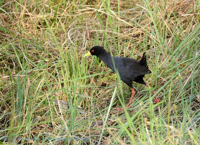 Botswana; Okavango; Black crake; Amaurornis flavirostra; Swartriethaan; Râle à bec jaune; Zwart porseleinhoen