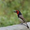Botswana; Okavango; Blackcollared barbet; Lybius torquatus; Rooikophoutkapper; HalsbandBartvogel; Zwarthalsbaardvogel; Barbican à collier