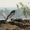 Zambië; Blackheaded heron; Ardea melanocephala; Swartkopreier; Schwarzhalsreiher; Héron mélanocéphale; Zwartkopreiger; Zambia