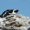 ZuidAfrika; African penguin; Jackass penguin; Brilpikkewyn; Brillenpinguin; Manchot du Cap; Zwartvoetpinguïn; SouthAfrica