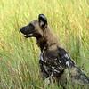 Botswana; Okavango; African wild dog; Lycaon pictus; Wildehond; Afrikanischer Wildhund; Lycaon; Afrikaanse wilde hond