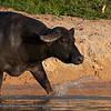 Buffalo; preto; 2019; Murrah-breed buffalo; River-type buffalo breed; Bubalus bubalis; Buffalo preto