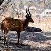 Zambië; Bushbuck; Tragelaphus sylvaticus; Bosbok; Buschbock; Guib harnaché; Tragelaphus scriptus; Zambia