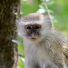 Zambië; Vervet monkey; Chlorocebus pygerythrus; Vervet bleu; Südliche Grünmeerkatze; ZuidAfrikaanse groene meerkat; Zambia