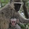Vervet monkey; Chlorocebus pygerythrus; Vervet bleu; Südliche Grünmeerkatze; ZuidAfrikaanse groene meerkat