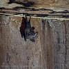 Dwarf little fruit bat; Rhinophylla pumilio