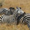 Zambië; Burchell's zebra; Equus burchelli; Zèbre de Burchell; Steppenzebra; Burchell zebra
