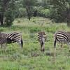 Burchell's zebra; Equus burchelli; Zèbre de Burchell; Steppenzebra; Burchell zebra