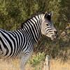 Botswana; Burchell's zebra; Equus burchelli; Zèbre de Burchell; Steppenzebra; Burchell zebra; Okavango