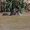 Reuzenotter; Pteronura brasiliensis; Giant otter; Loutre géante; Riesenotter