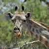 Zambië; Giraf; Giraffa camelopardalis; Girafe; Giraffe; Zambia