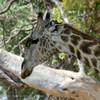 Botswana; Giraf; Giraffa camelopardalis; Girafe; Giraffe; Okavango