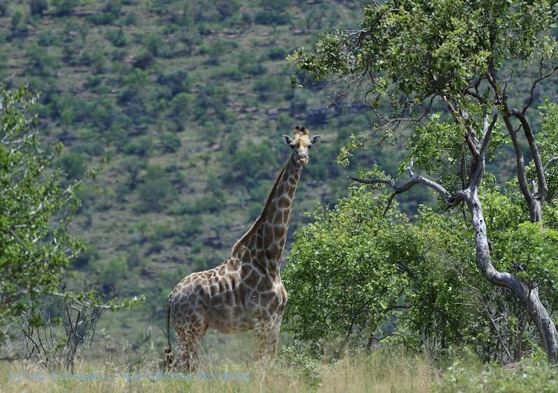 Girafe; Giraffe; Giraffa camelopardalis; Giraf