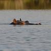 Botswana; Okavango; Nijlpaard; Hippopotamus amphibius; Seekoei; Hippopotamus; L'hippopotame