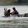 Zambia; Nijlpaard; Hippopotamus amphibius; Seekoei; Hippopotamus; L'hippopotame