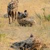 Botswana; Okavango; Spotted hyena; Crocuta crocuta; Gevlekte hiëna; Tüpfelhyäne; Hyène tachetée; Gevlekte hyena