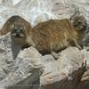 ZuidAfrika; SouthAfrica; Rock hyrax; Rock badger; Cape hyrax; Klipdassie; Klippschliefer; Procavia capensis; Daman des rochers; Kaapse klipdas