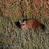 Krabbenetende wasbeer; Procyon cancrivorus; Crabeating raccoon; Raton crabier; Krabbenwaschbär
