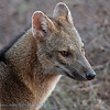 Krabbenetende vos; Cerdocyon thous; Savannevos; Crabeating fox; Renard des savanes; Maikong