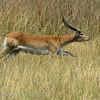 Botswana; Okavango; Lechwe; Kobus leche; Rooilechwe; Cobe de Lechwe; Litschiewaterbok; Letschwe