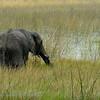 Botswana; Afrikaanse olifant; Eléphant d'Afrique; African elephant; Loxodonta africana; Afrikanischer Elefant; Okavango