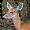 Moerashert; Blastocerus dichotomus; Marsh deer; Cerf des marais; Sumpfhirsch