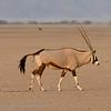 Namibië; Oryx; Oryx gazella; Oryxantilopen; Spiesbok; Gemsbok; Namib Desert