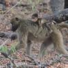 Botswana; Okavango; Chacma baboon; Papio ursinus; Kaapse bobbejaan; Bärenpavian; Babouin chacma; Beerbaviaan