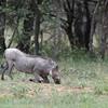 Warthog; Phacochère; Wrattenzwijn; Warzenschwein; Phacochoerus aethiopicus