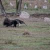 Reuzenmiereneter; Myrmecophaga tridactyla; Giant anteater; Tamanoir; Fourmilier géant; Großer Ameisenbär