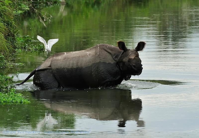 Indian rhinoceros; Rhinoceros unicornis; Panzernashorn; Rhinocéros indien; Indische neushoorn; Chitwan National Park; Nepal