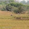 Botswana; Okavango; Southern reedbuck; Redunca arundinum; Rietbok; Grand cobe des roseaux; Großriedbock